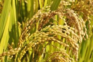 ear-of-rice